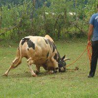 بازی محلی گاو دارم